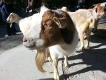 Friendly barnyard goats. Royalty Free Stock Photos
