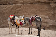 Friendly Bedouin donkeys. Waiting for a ride at Petra Royalty Free Stock Images