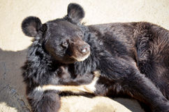 Friendly black  bear lying in the zoo Royalty Free Stock Image