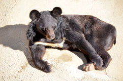Friendly black  bear lying in the zoo Royalty Free Stock Images