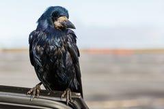 Friendly black crow Stock Photos