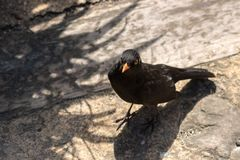Friendly Blackbird stock images