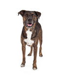 Friendly Brindle Color Dog Standing Stock Images