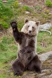 Friendly brown bear sitting and waving a paw Ursus arctos beringianus stock images