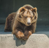 Friendly brown bear Stock Photography