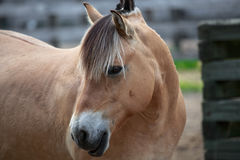 Friendly brown horse portrait Royalty Free Stock Images