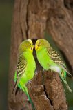 Friendly Budgies. Two Budgerigars being friendly with each other stock photography