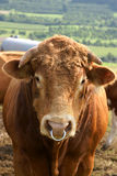 Friendly bull