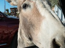Friendly burro, Oatman, Arizona royalty free stock photos