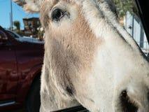 Friendly burro, Oatman, Arizona royalty free stock photos