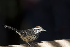 Friendly cactus wren Royalty Free Stock Photography