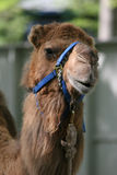 Friendly Camel Stock Photo