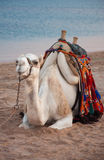 Friendly Camel. Probably the only nice and friendly camel there is in Egypt ! This one was right next to the red sea, that's probably why he looked more happy Royalty Free Stock Photography