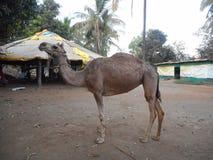 A friendly camel at Saguna Baug. Friendly camel saguna baug brown animal mammal dessert tall nature natural royalty free stock photography