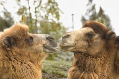 Friendly Camels. At the zoo Royalty Free Stock Photography