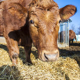 Friendly Cattle On Straw Stock Images