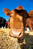 Friendly cattle on straw with blue Royalty Free Stock Photos