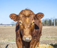 Friendly cattle on straw Royalty Free Stock Images