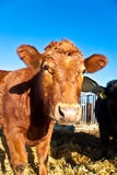 Friendly cattle on straw with blue sky Stock Image