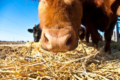 Friendly cattle on straw with blue sky Stock Photo