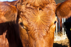Friendly cattle on straw Stock Photos
