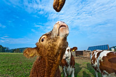 Friendly cattles on green granzing land Royalty Free Stock Images