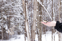 Friendly Chickadee eating bird seed from human hand. Chickadee Perched about to eat some bird seed from hand in the forest in the winter Stock Photo