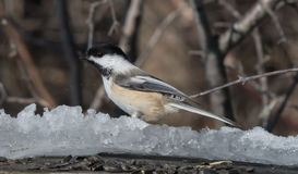 Friendly Chickadee. Eating bird seed in winter Stock Images