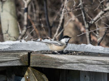 Friendly Chickadee Royalty Free Stock Image