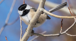 Friendly Chickadee. Eating bird seed in winter Stock Photos