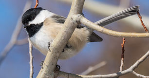 Friendly Chickadee. Eating bird seed in winter Stock Photography
