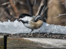 Friendly Chickadee. Eating bird seed in winter Stock Image