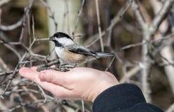 Friendly Chickadee hand held Stock Photography