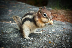 Friendly Chipmunk Stock Photo