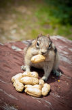 Friendly Chipmunk Stock Images