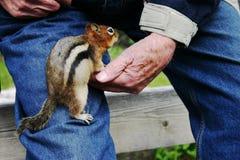 Friendly Chipmunk. Chipmunk crawling up a man's pant leg Royalty Free Stock Photos