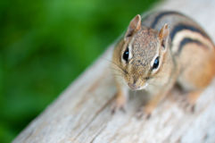 Friendly chipmunk Stock Photography
