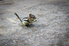 A Friendly Chipmunk Royalty Free Stock Photos