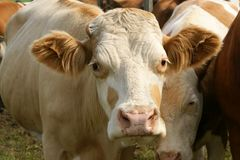 Friendly cow Stock Photo
