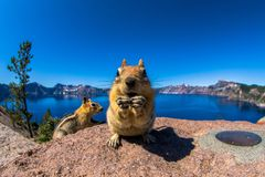 Golden Mantle squirrel royalty free stock photo