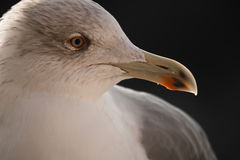 Friendly cute seagull profile face head. Close up of cute seagull in sunrise royalty free stock photography