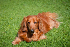 Friendly dachshund Royalty Free Stock Image