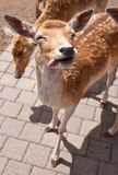 Friendly Deer Royalty Free Stock Photography