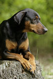 Friendly doberman dog Royalty Free Stock Images