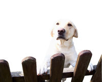 Friendly dog. Small, friendly dog stands at the fence, isolated royalty free stock photo