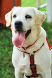 Friendly Labrador Dog. A photo taken on a dog eager for attention Stock Photography