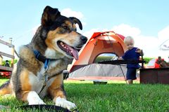 Friendly Dog Camping Stock Image