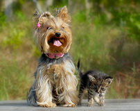 Friendly dog and cat. Friendly Yorkshire terrier dog and cute kitten outdoors Stock Images
