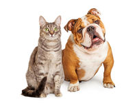 Friendly Dog and Cat Together. English Bulldog breed dog and pretty tabby cat sitting together over white Royalty Free Stock Photos