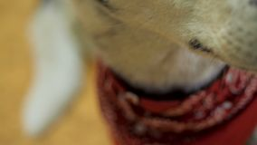 The friendly dog close-up indoors.  stock footage